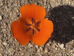 orange flower in the Mojave desert