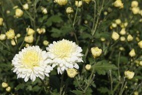 white chrysanthemums are autumn flowers
