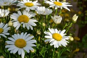 bush of white and yellow daisy flowers