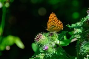 silver-bordered fritillary butterfly on the flower