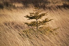 green pine among marsh grass in a nature reserve in Belgium