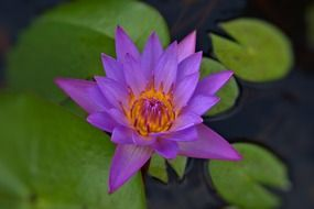 Violet water lily flower