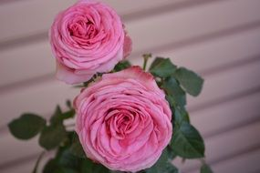 pink roses vintage romantic blossom