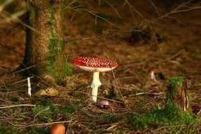 Fly agaric among dry foliage