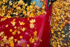 red car in yellow maple leaves