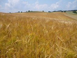 golden wheat field landscape