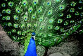 blue peacock with colorful colorful tail