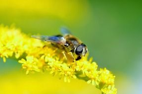 hover fly insect close-up