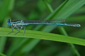 blue dragonfly insect macro