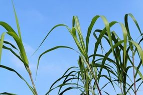 green reed on the blue sky