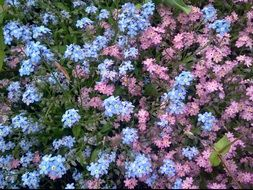 pink and blue forget me not flowers