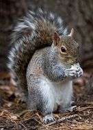 Rodent-squirrel with a fluffy tail