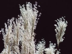 miscanthus sinensis grass with a back light