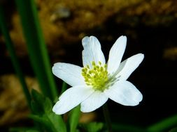White anemone is a spring flower