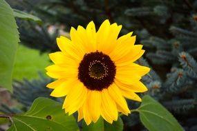 yellow sun flower macro photo