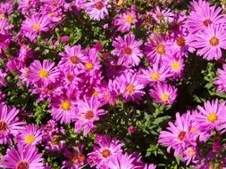 purple aster perennial bloooming at sunny day