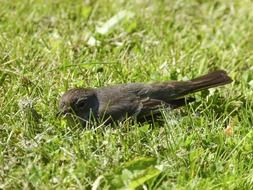 Sparrow on the grass