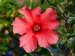 red hibiscus flower blossom