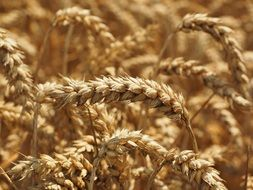 golden wheat spike