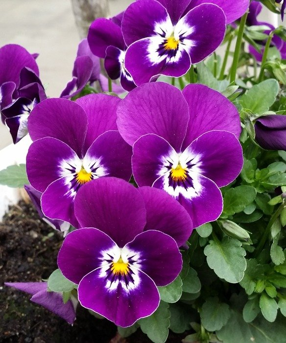 close-up photo of purple pansies flowers