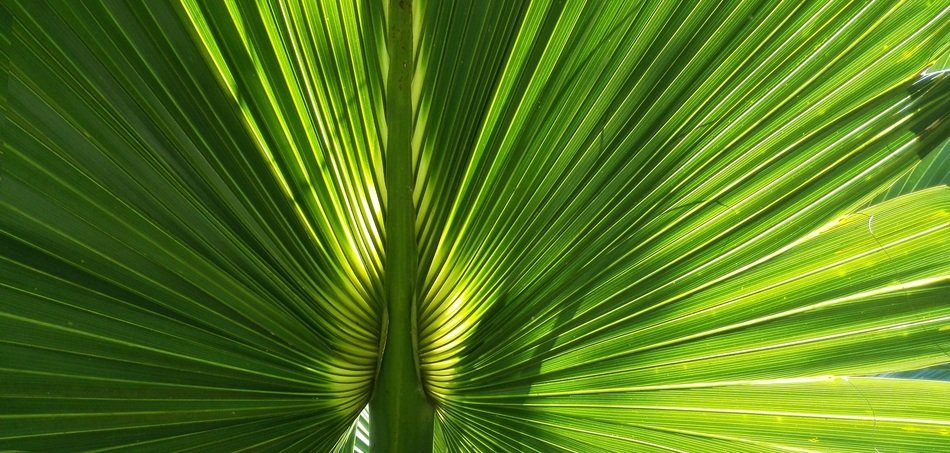 sunlight through a large palm leaf