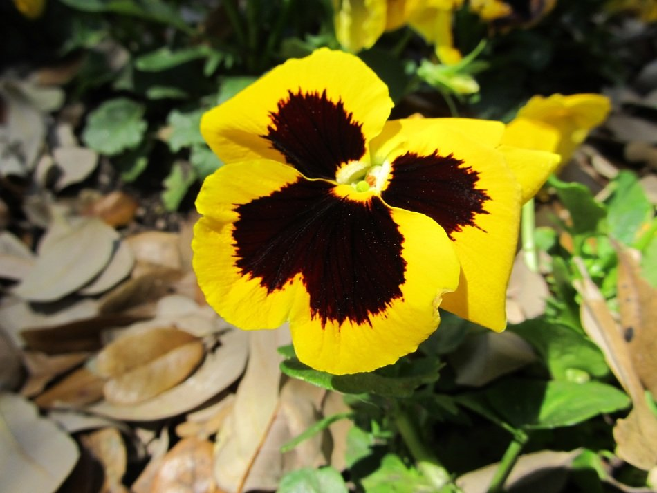 Close-up of the beautiful yellow and brown pansies among the colorful leaves