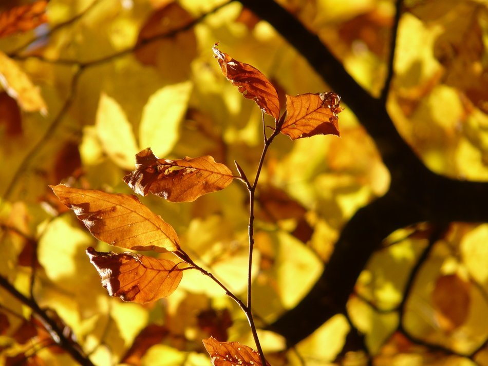 golden autumn leaves of European beech