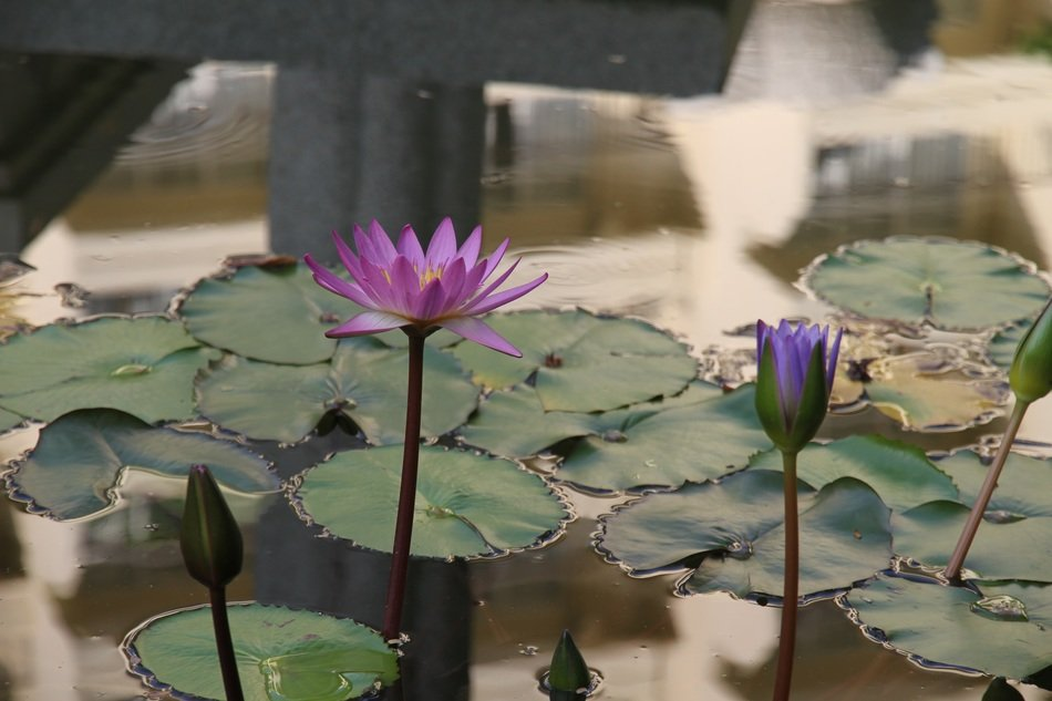 different water lilies with buds on the water