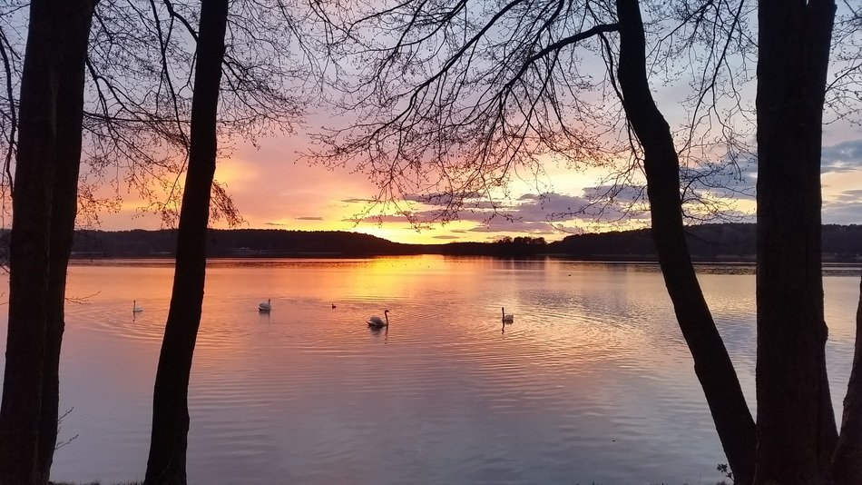 Swans on the lake during sunset