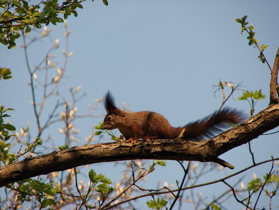 red forest squirrel