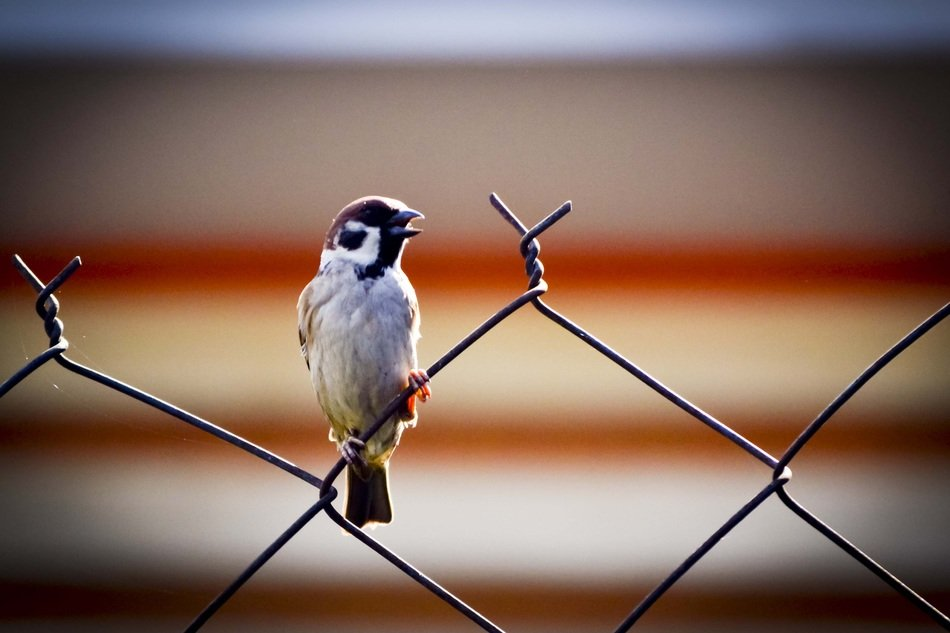 sparrow on a metal fence close up