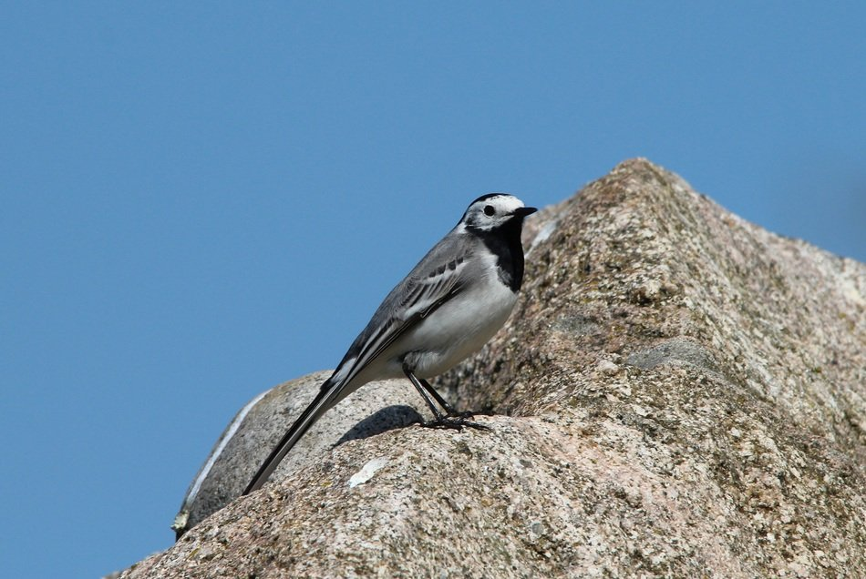 white wagtail on stone