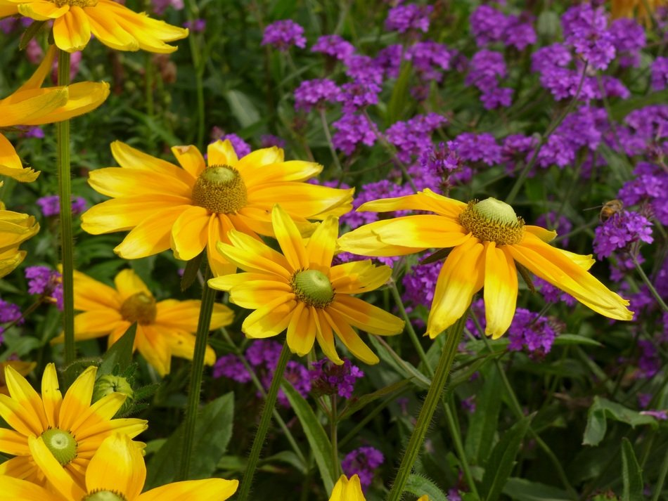 yellow and purple flowers in the garden