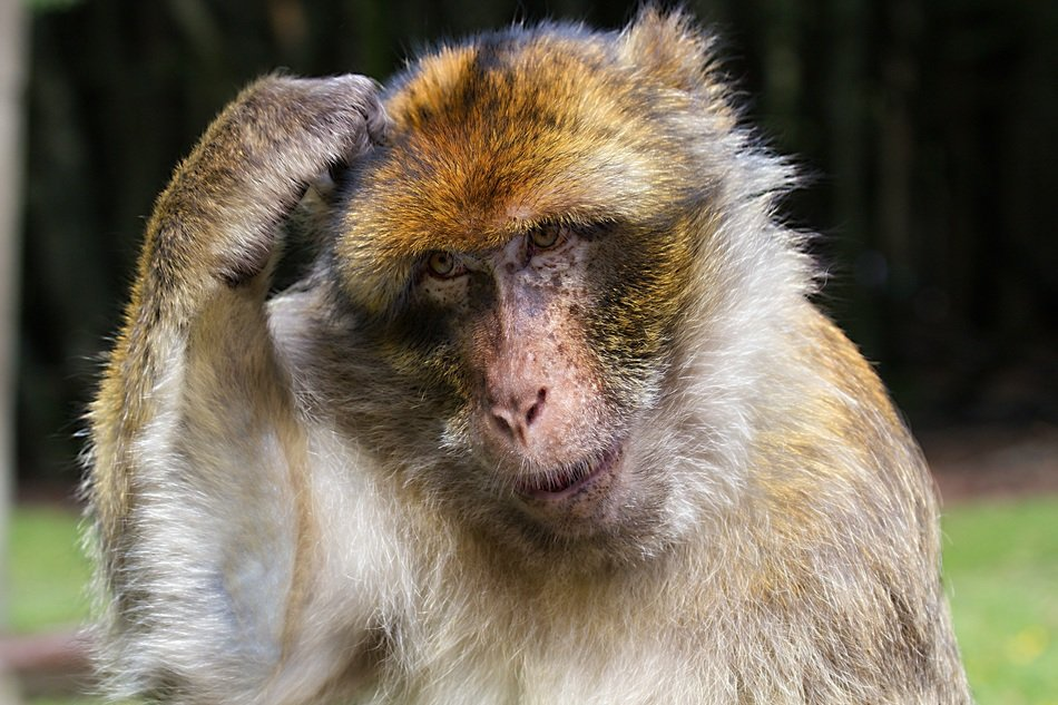 stunningly beautiful barbary ape monkey