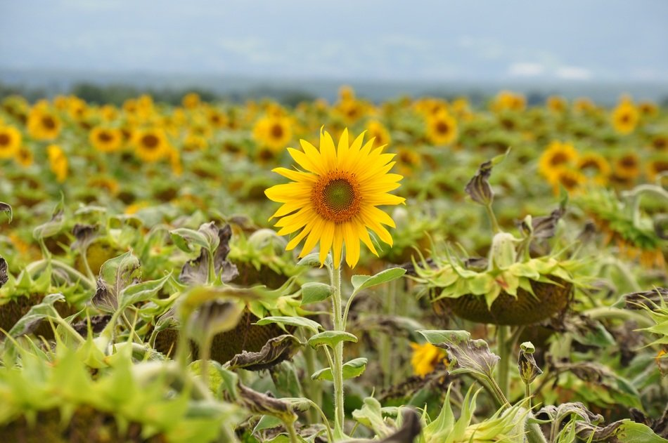 beauriful sunflower field