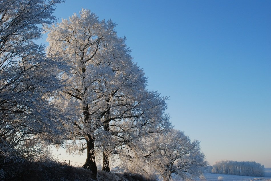 frozen trees in winter