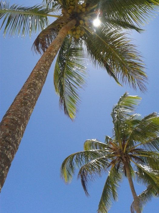 coconut palm trees in bright sunlight