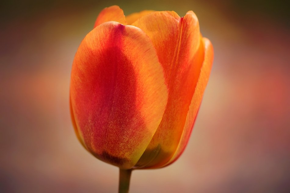 orange tulip blossom