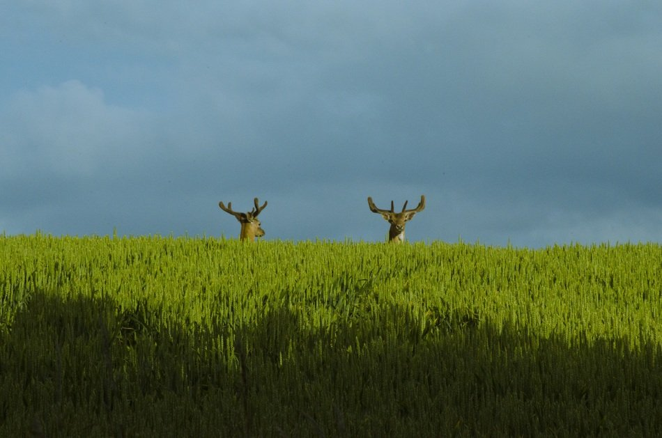 two reindeer stas heads above green field at cloudy sky
