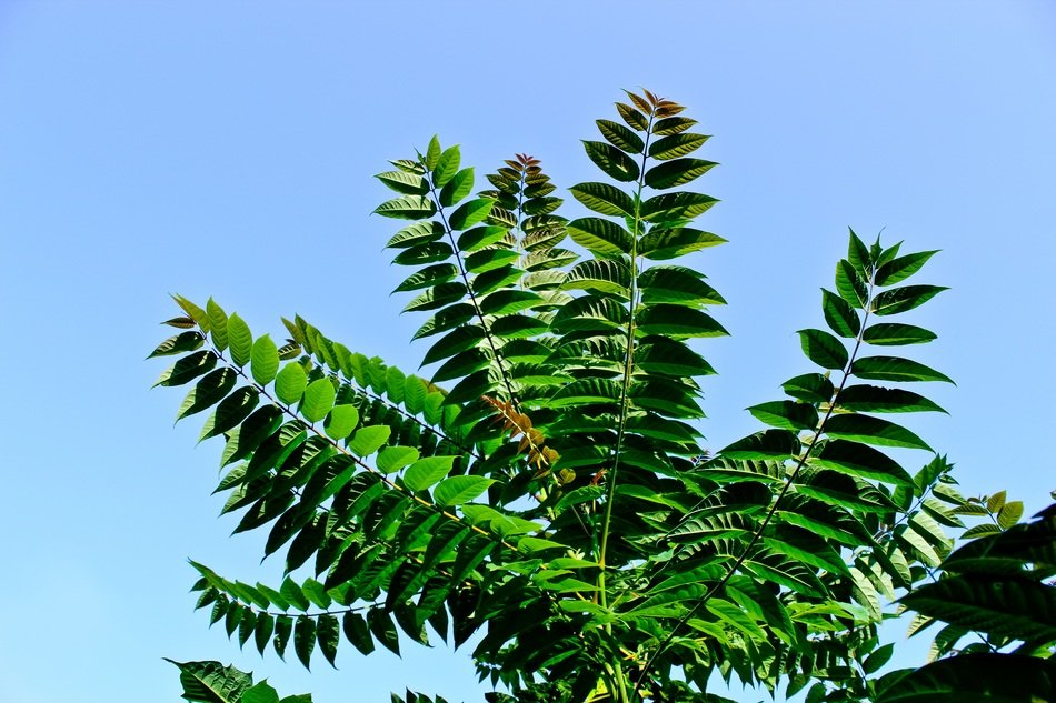 matchless fern plant