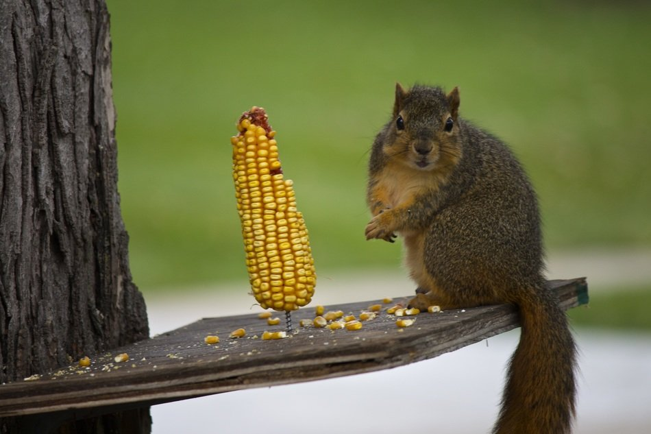 squirrel is gnawing corn