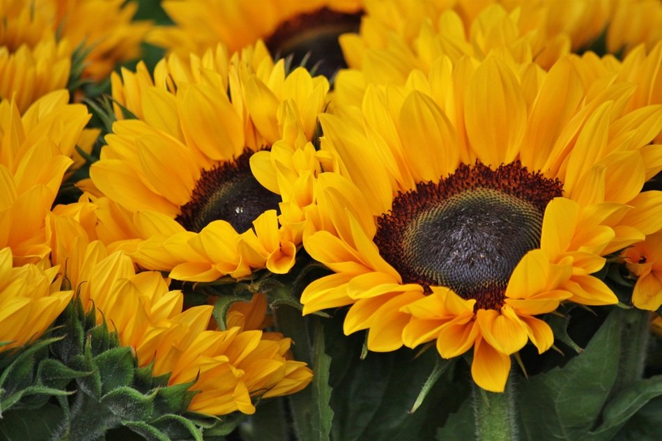 bright sunflowers for a bouquet