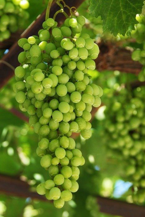 green ripening juicy grapes