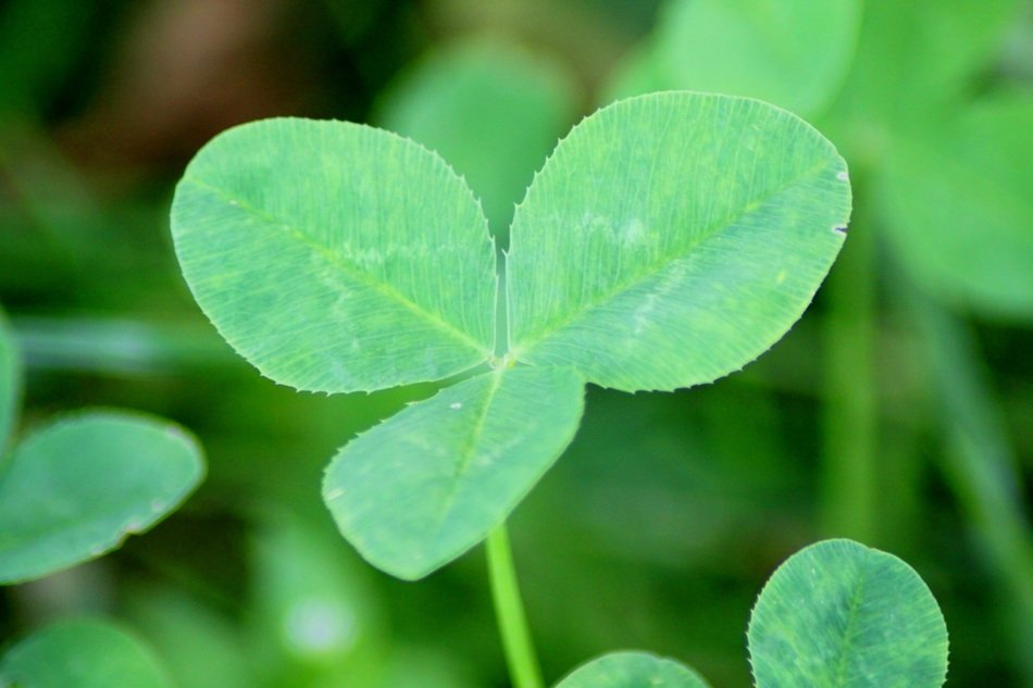 clover leaves close up