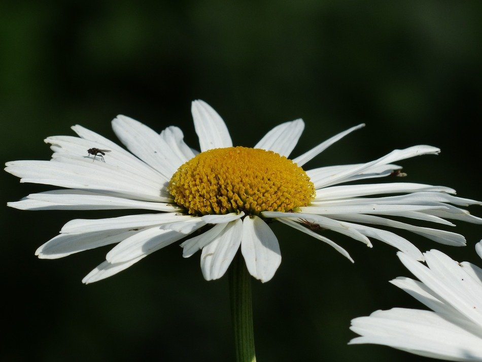 white margerite flowers close-up