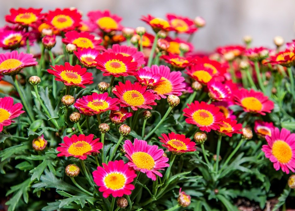 a lot of colorful chrysanthemum flowers