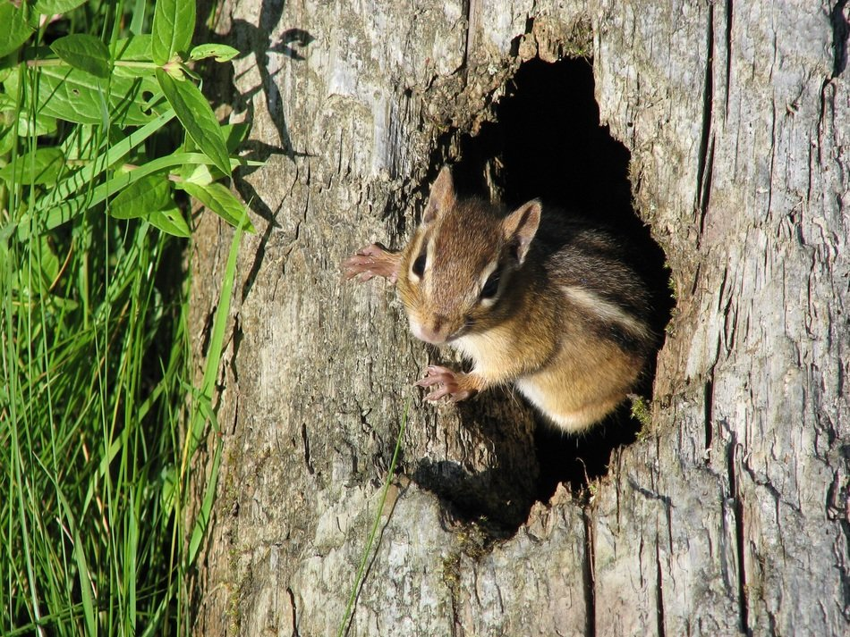 chipmunk in the tree hollow