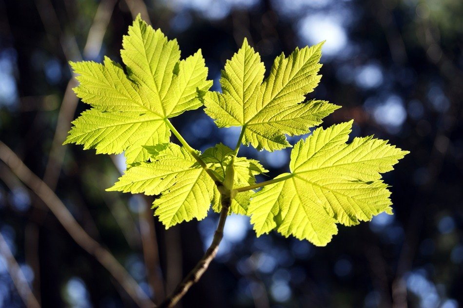 Photo of the green maple leaves