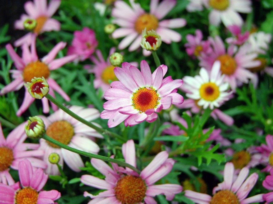 pink daisy with green leaves