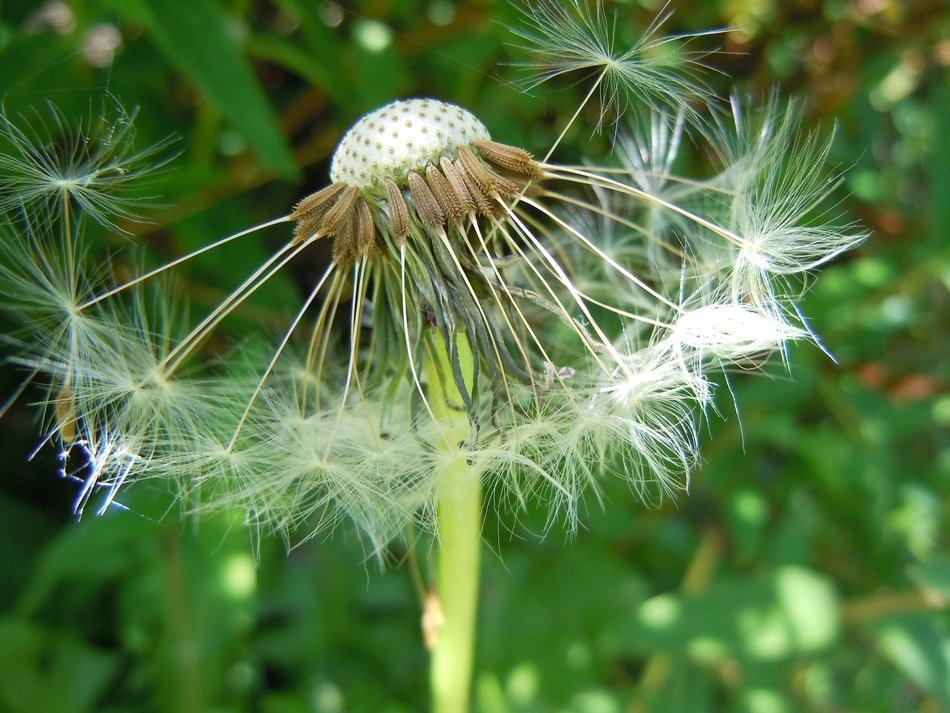 dandelion with a piece of seeds